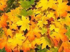 Lehdet, Syksy, Värikkäitä, Keltainen