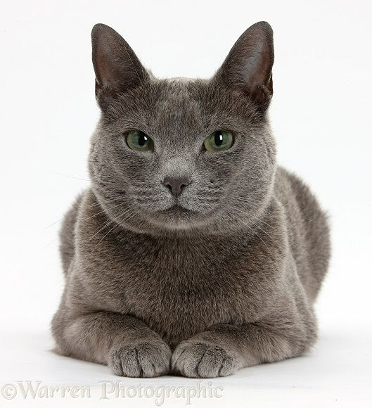 Russian Blue Beauty Russian Blue Cats And Kittens Russian Blue Cat