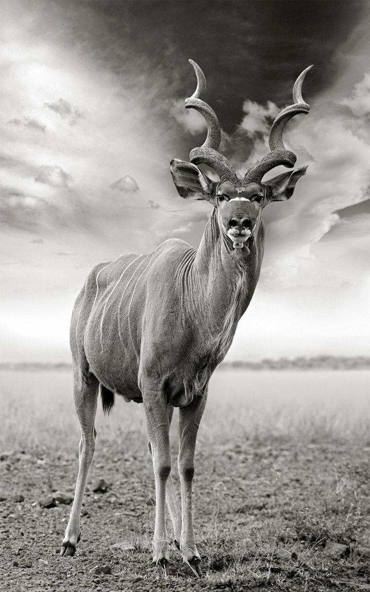 Portrait of Africa Male kudu © Anton Lyalin Animals