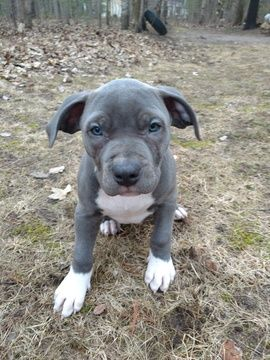 Litter Of 4 American Bully Puppies For Sale In Lake City Mi Adn