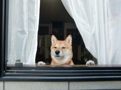 ワンダフルな瞬間 コンテスト Shiba Inu Japanese Dogs Cat Drooling