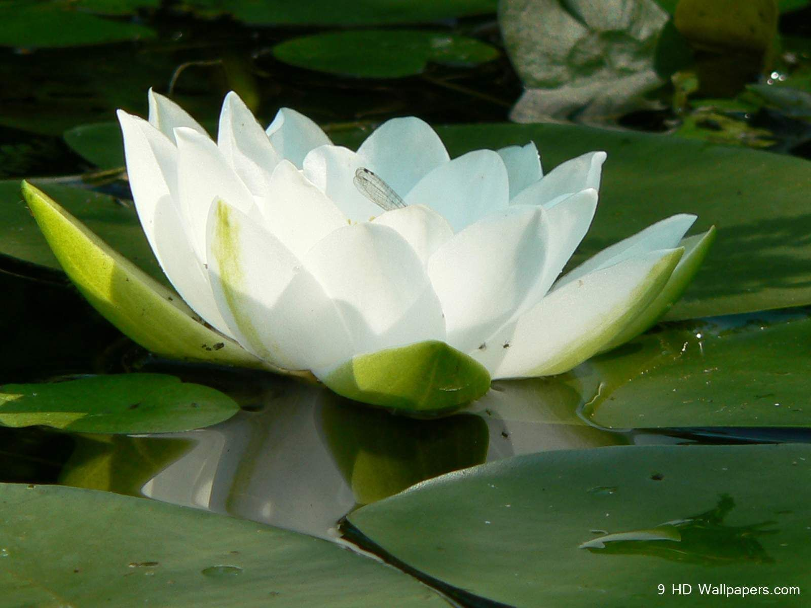Cute White Lotus Flower Hd Wallpapers Hd Wallpaper Yoga