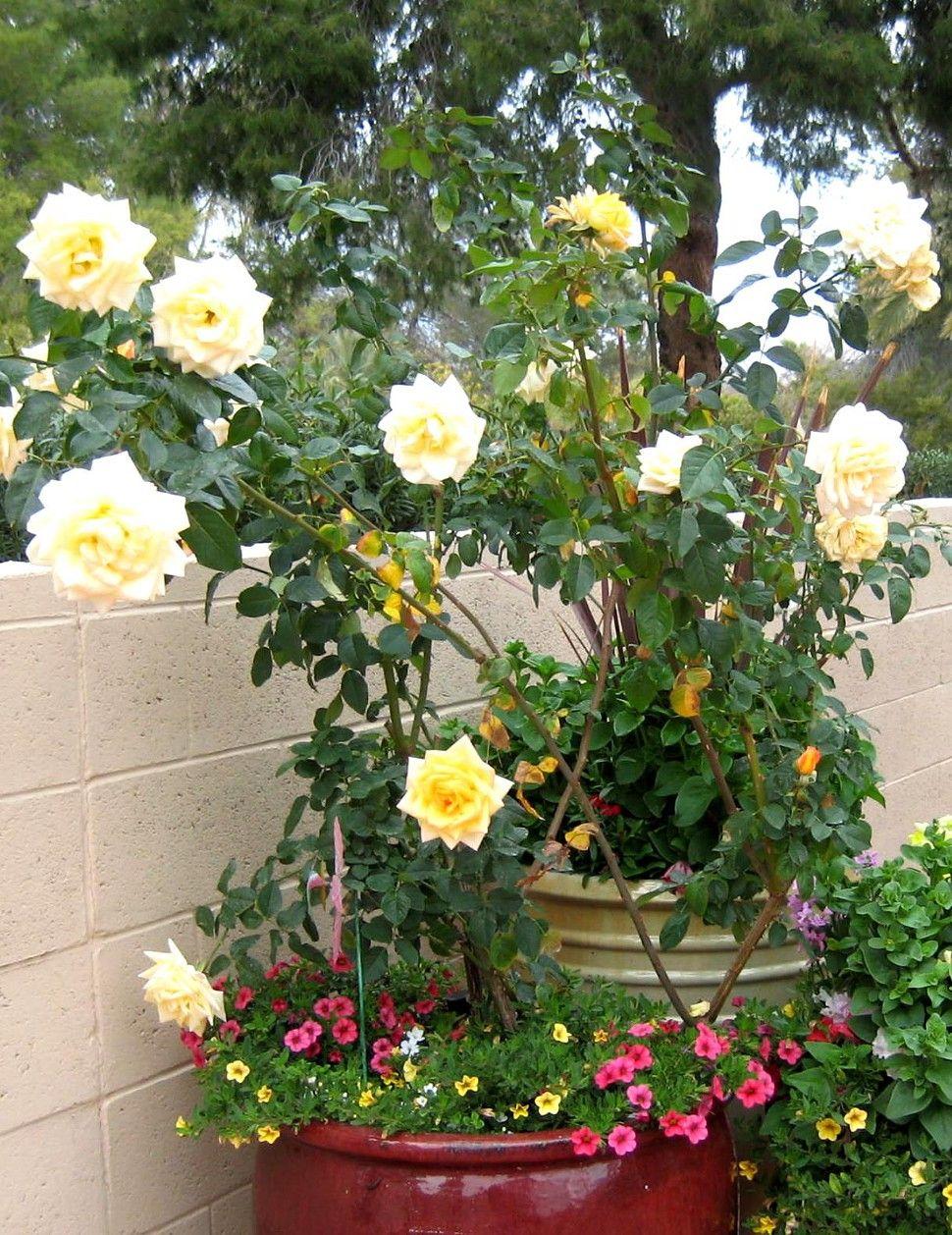 Tucson Weekly Potted Rose In A Desert Garden Garden