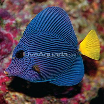 Purple Tang Saltwater Aquarium Fish For Marine Aquariums Aquarium Fish Salt Water Fish Aquarium Fish Tank