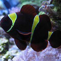 Gold Stripe Maroon Clown Fish Marine Aquarium Fish Fish Pet