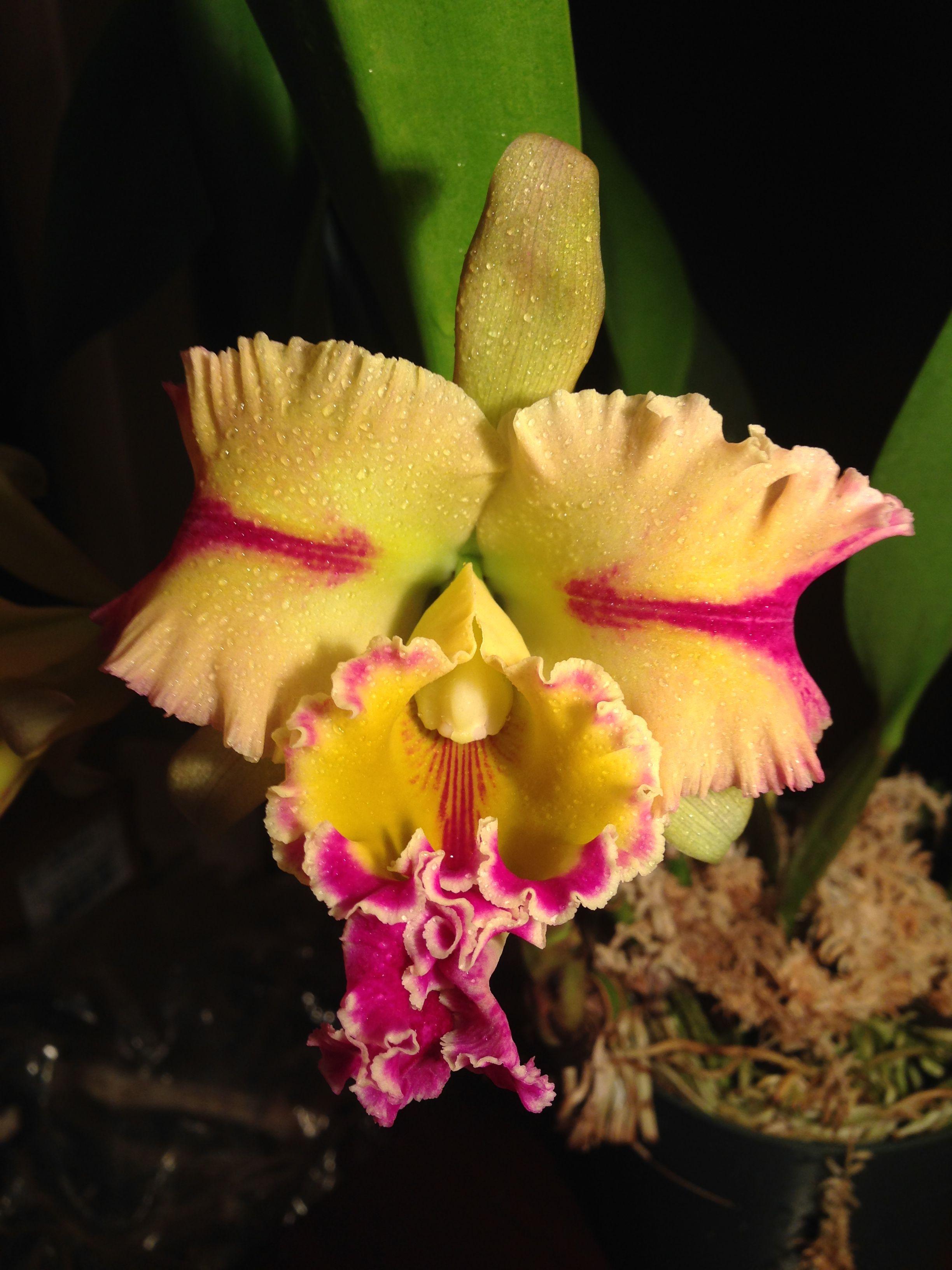 Brassolaeliocattleya Paradise Jewel Flame Orchidee Belles