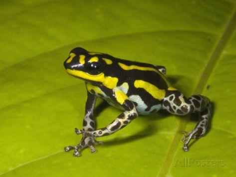 Poison Dart Frog With Yellow Stripes Dendrobates Flavovittatus