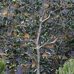 Growing An Espaliered Olive Tree Olive Trees Landscape Olive Trees Garden Landscape Trees