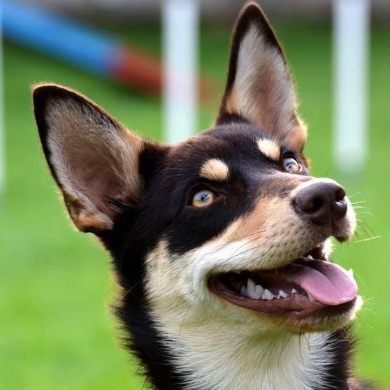 Australian Kelpie Australian Dog Breeds Dog Breeds Chart Medium Dogs
