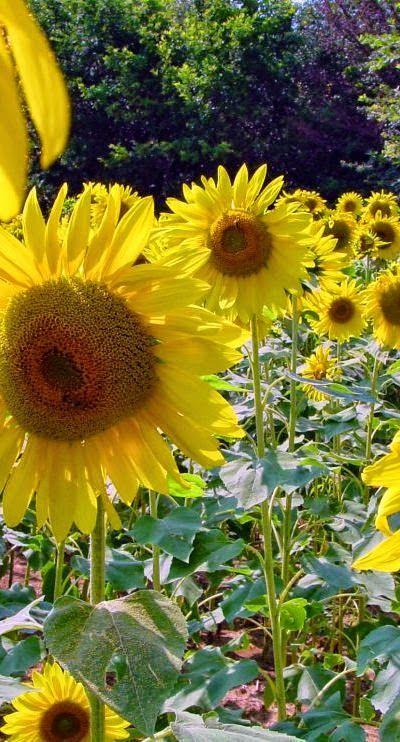 pingl par clara simon sur plombier paris 14 flowers sunflower garden et beautiful flowers. Black Bedroom Furniture Sets. Home Design Ideas
