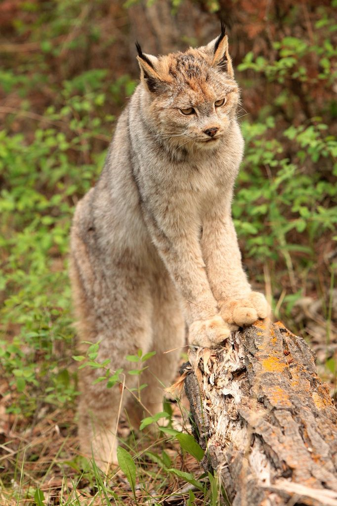 Canadian lynx (by USMC68)                                                                                                                                                                                 More