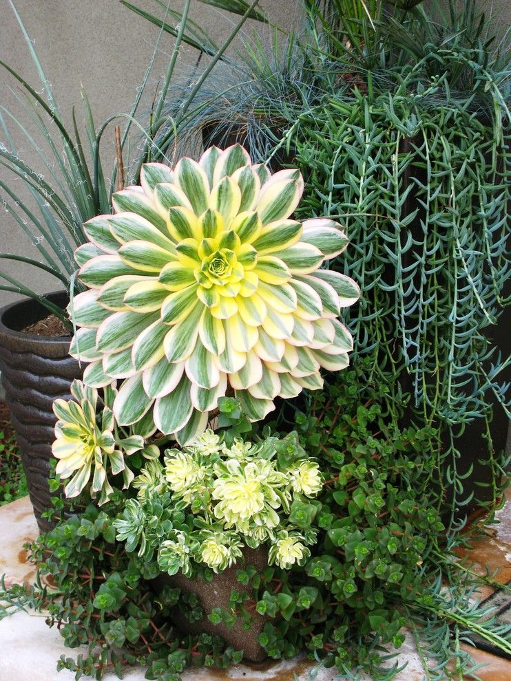 Succulent arrangements landscape contemporary with aeonium for Garden arrangement ideas