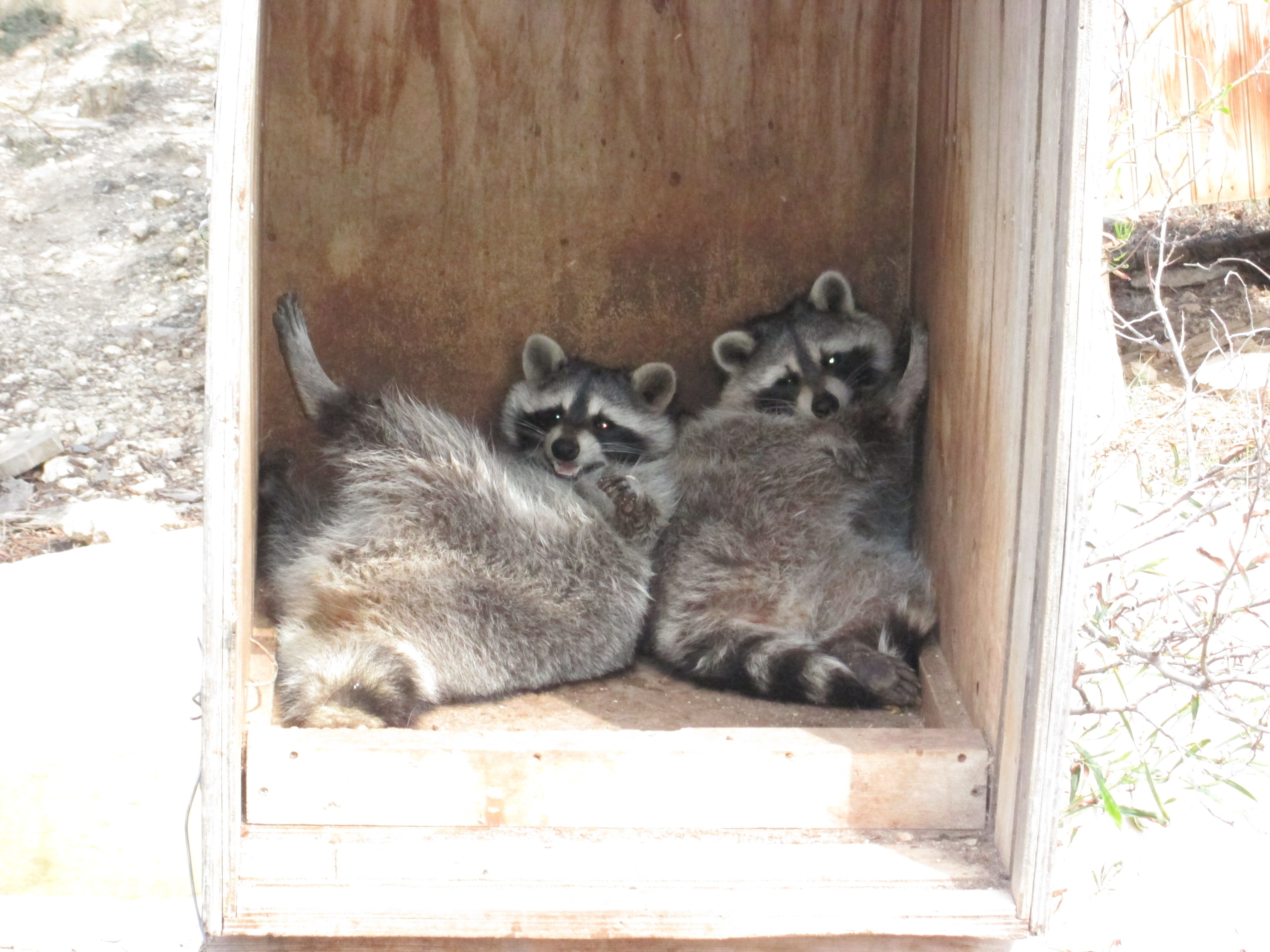 lazy raccoons in box