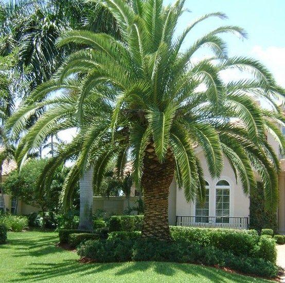Palm Tree Island: Canary Island Date Palm Or Pineapple Date Palm 10 Feet