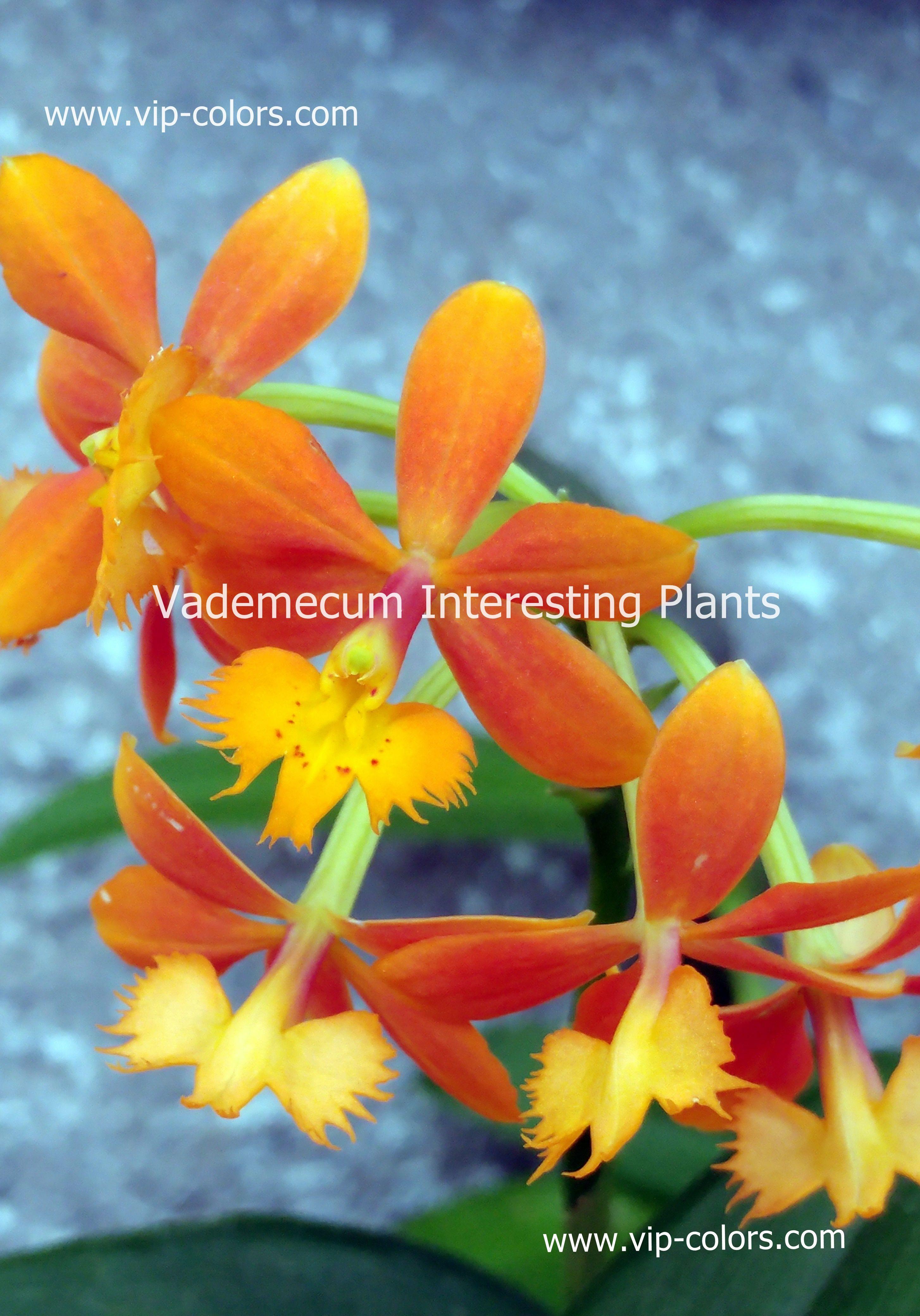 Epidendrum Radicans Orange Orquidea