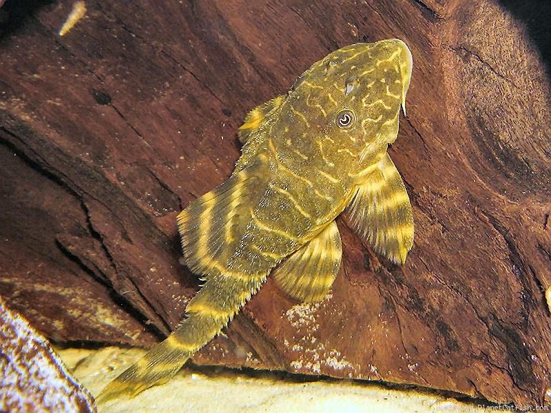 Gold Marble Bristlenose Ancistrus Claro This Is One Of The Smaller Bristlenose Plecos And It Reaches 2 8 In Length It Should Be Kept With Ro Poisson Bassin