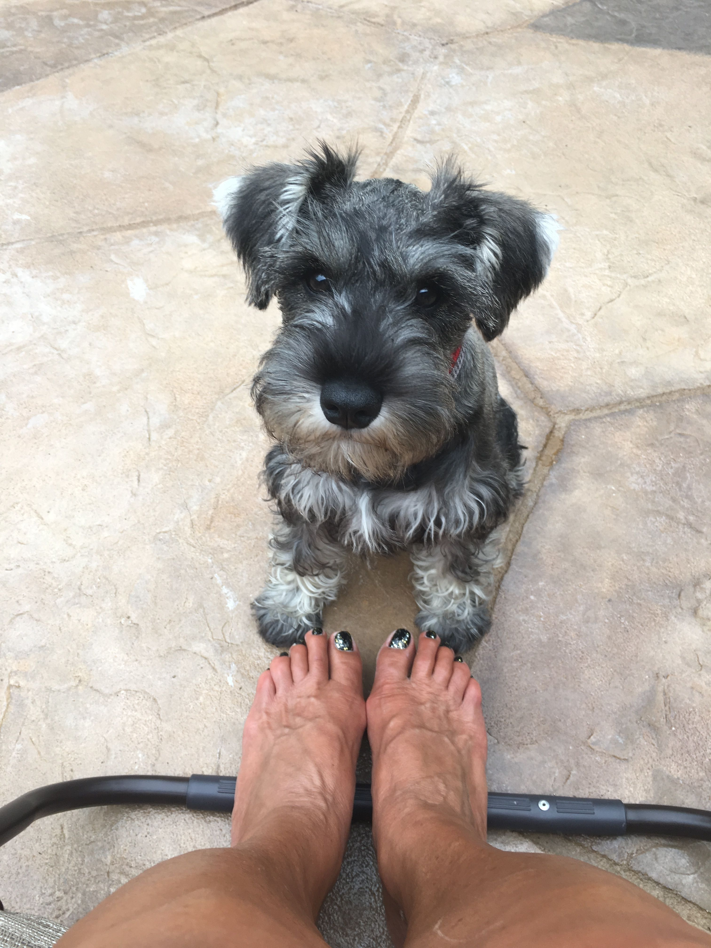 Pin By Kimberlee Voris Ayers On Love Me Some Schnauzers Schnauzer Miniature Schnauzer Miniature Schnauzer Puppies
