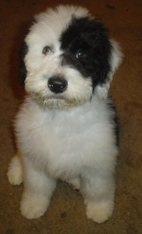 Sheepadoodle Might Want To Add These To Our Breeding Program
