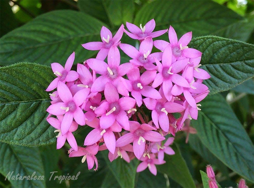 variedad rosa de la planta estrellita de jard n nombre