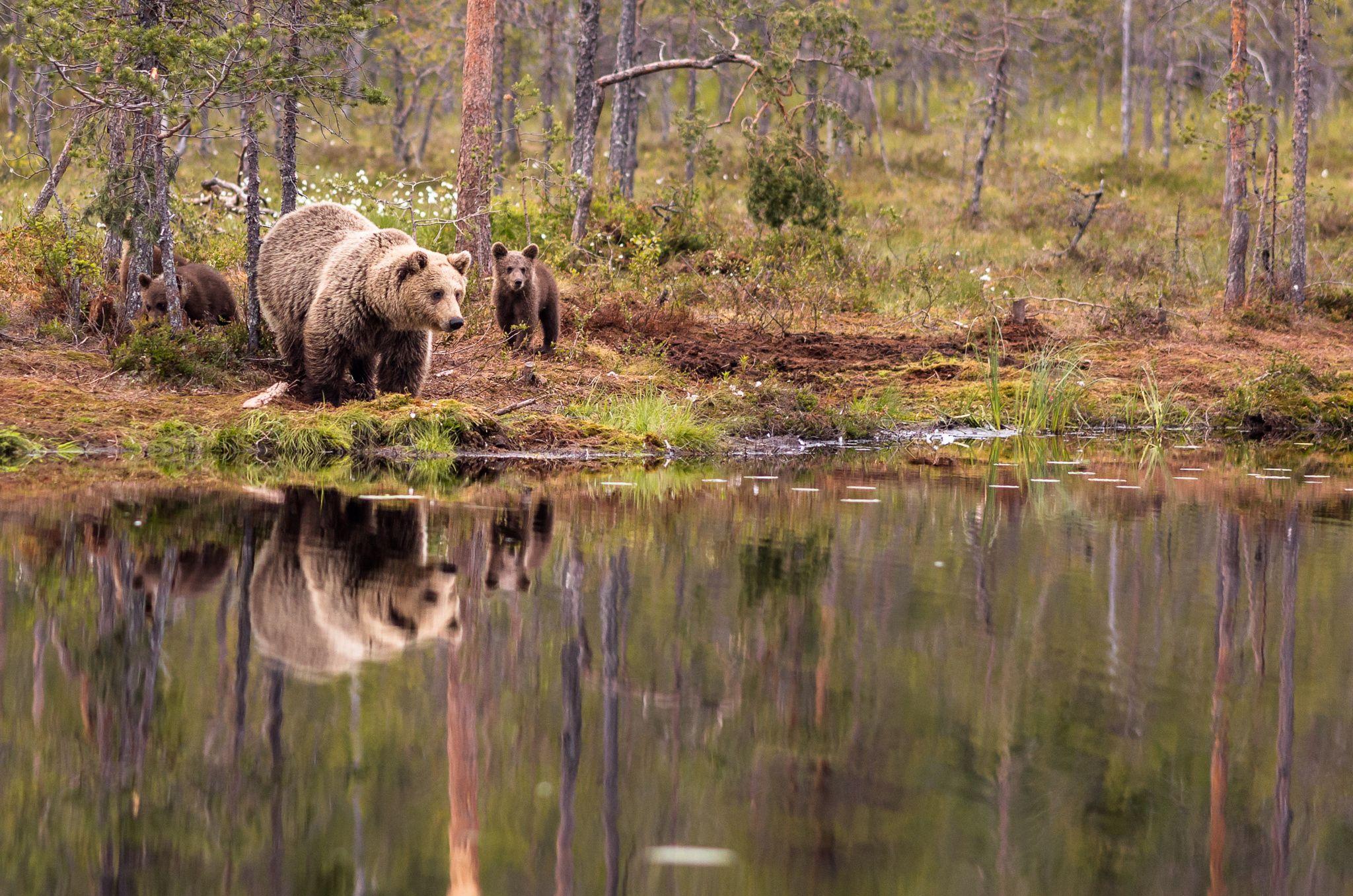 Familia de osos cerca del lago. Martinselkonen - Finlandia Oriental (by Jomppa)