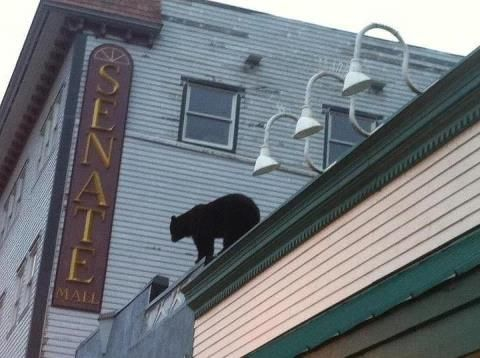 Bear On The Roof Near Alaskan Hotel In Downtown Juneau
