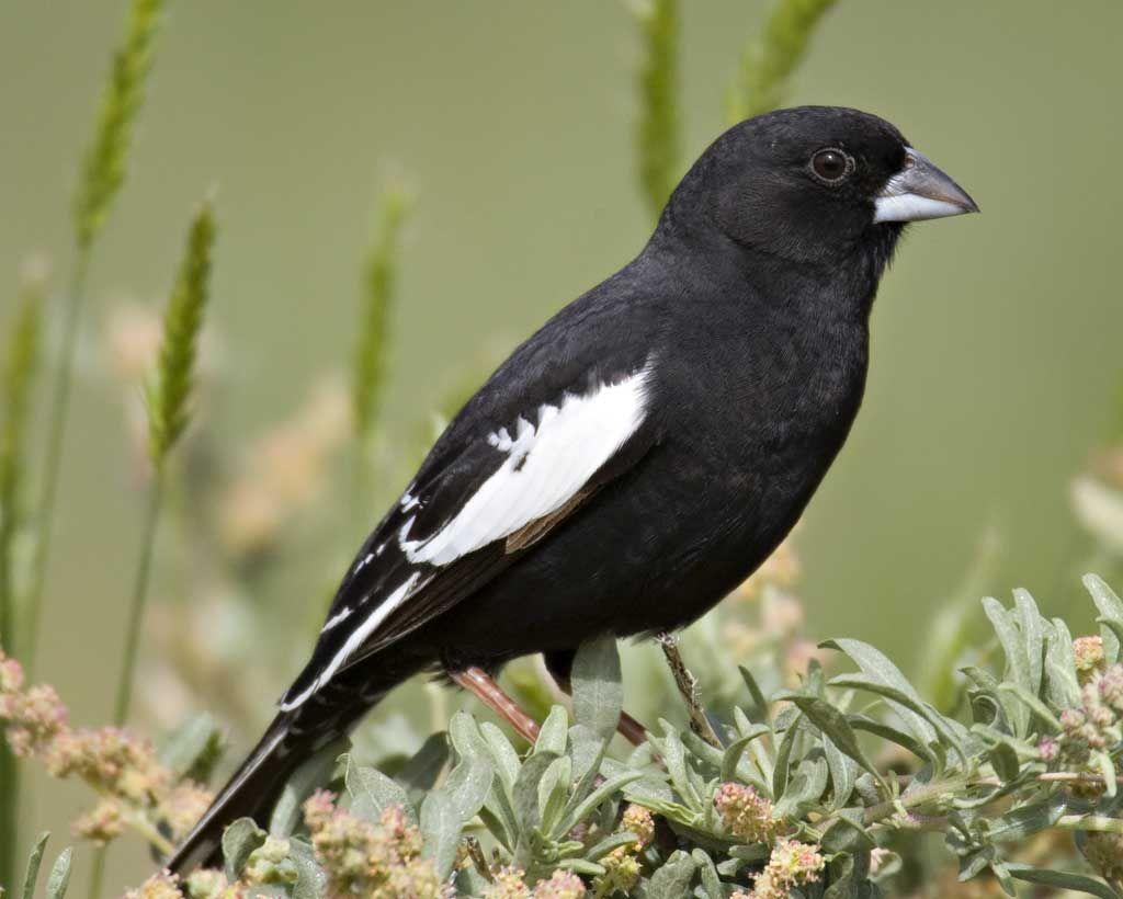 Lark Bunting | State birds, Bird, Birds