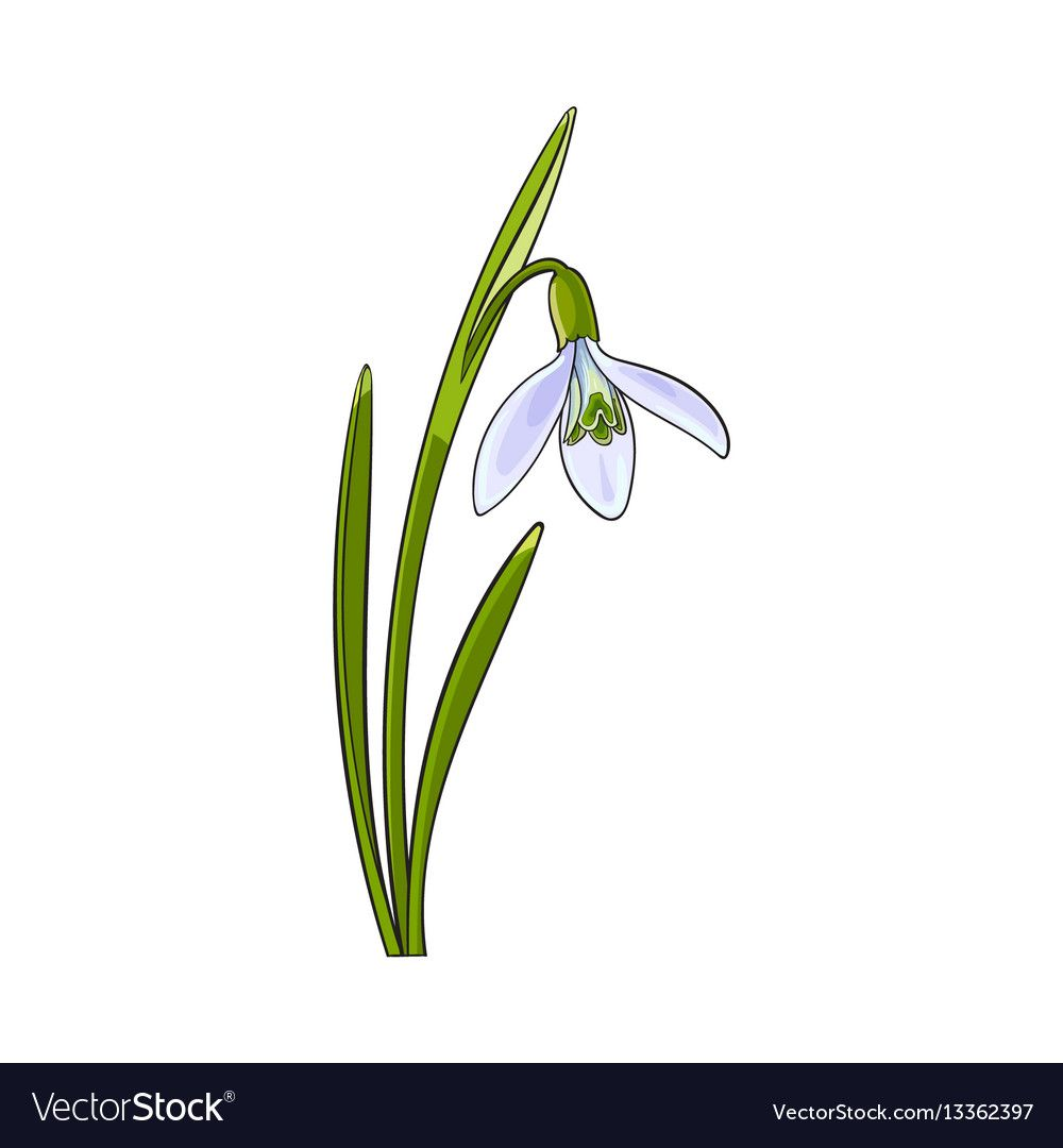 Single Galanthus Snowdrop Spring Flower With Stem Vector Image On Vectorstock Flower Drawing Cherry Blossom Art Blossoms Art
