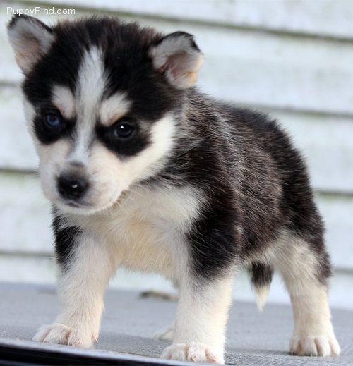 Alaskan Klee Kai 3 Alaskan Klee Kai Miniature Dogs Dog Lovers