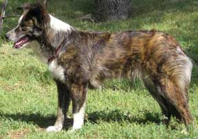 Gold Brindle With White Markings Border Collie Collie Border Collie Brindle