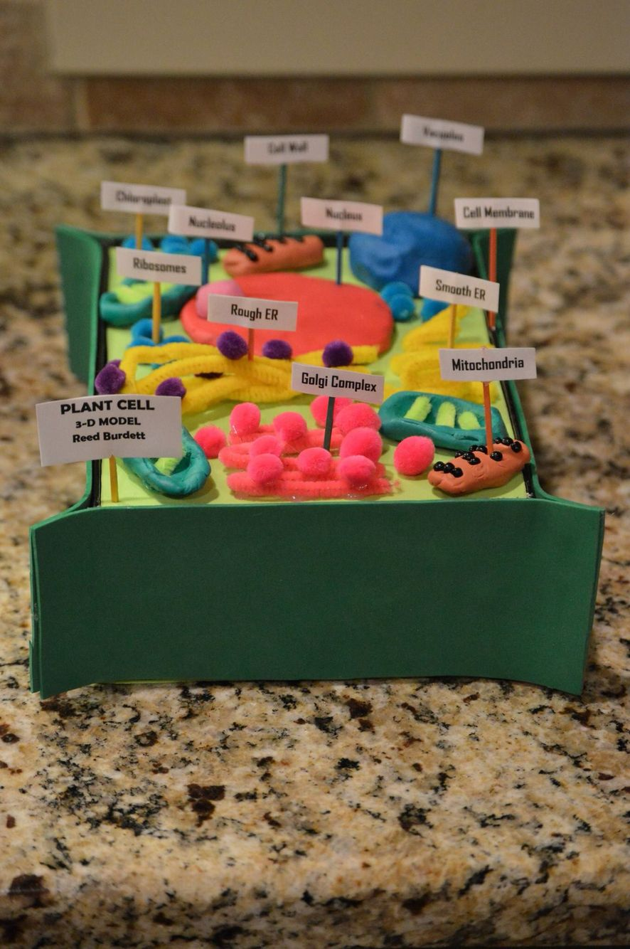 Reeds 7th Grade Advanced Science Plant Cell Project 3 D Simple Diagram Labeled For Kids