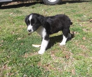 Adopt Cash On Pets Rescue Dogs Border Collie