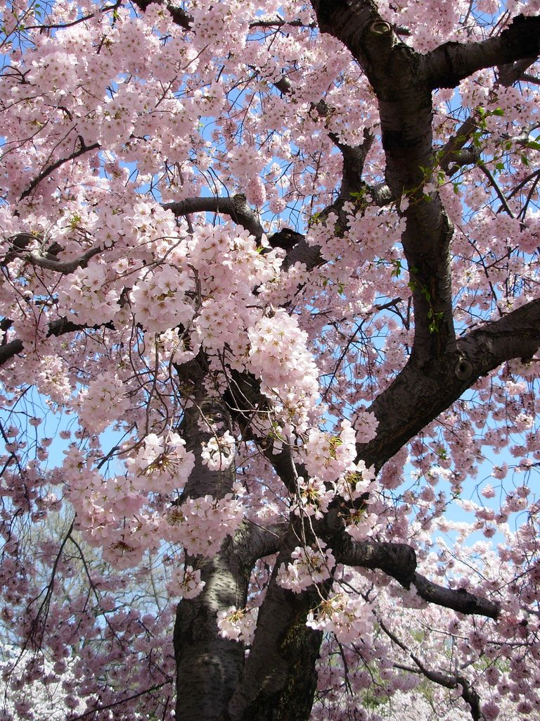 Blossoms Wonderful Flowers Cherry Blossom Images Beautiful Flowers