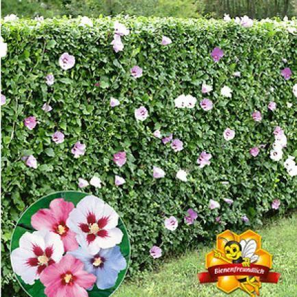 hibiskus richtig schneiden garten hibiskus hecke garten und hibiskus. Black Bedroom Furniture Sets. Home Design Ideas