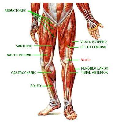 músculos de la extremidad inferior | Fisioterapia | Pinterest | El ...