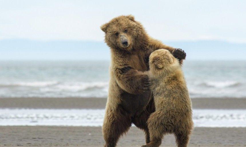 Αυτή η μαμά και το αρκουδάκι της άρχισαν να «χορεύουν» κατά τη διάρκεια ενός διαλλείματος από την εξερεύνησή τους για μύδια. Φωτογραφήθηκε στην Αλάσκα. © Karie Lefebvre / National Geographic Photo Contest
