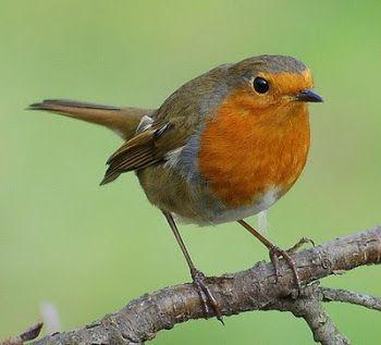 Songbird Sings. Robin