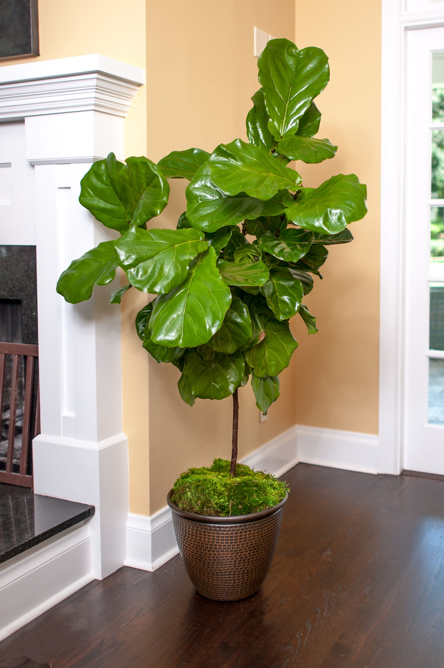 Fiddle Leaf Fig Full Size Ficus Lyrata Plants For Sale Online Ficus Lyrata Fiddle Leaf Fig Tree Fiddle Leaf Fig
