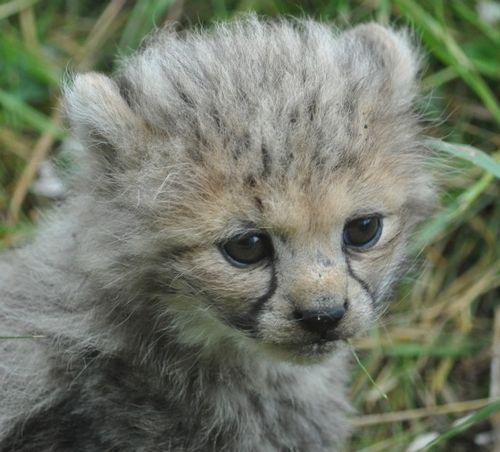 First Four Cheetah Cubs Show The Sun Their Spots Zooborns Cute Animal Pictures Cute Baby Animals Cheetah Cubs