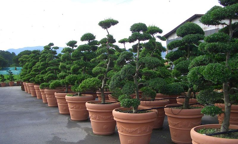 Affordable Tuscan Variety Of Japanese Classic Ilex Crenata Kinme Is Also Known As The Cloud Tree Japanese Holly Topiary And Ilex Crenata J Clouds Bonsai Tree
