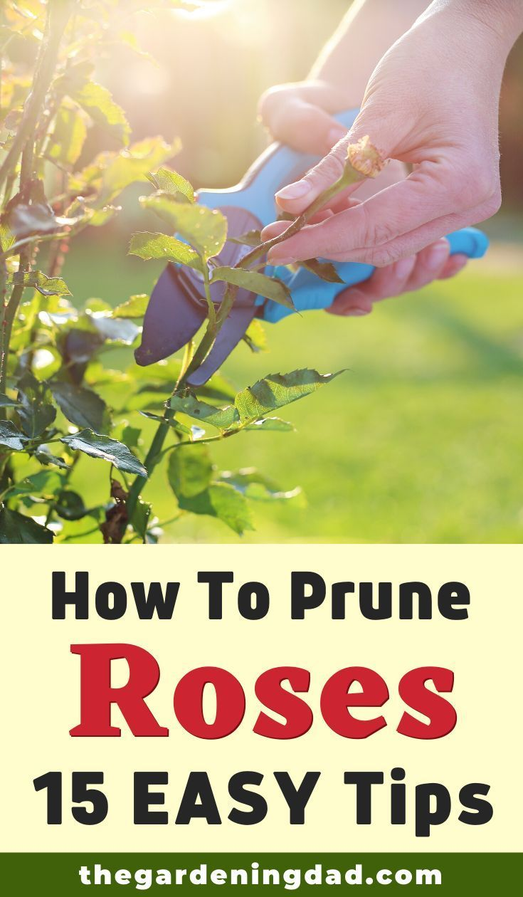 Learn How to Prune Roses with 15 EASY Tips.  This article will make pruning roses easy, quick, and is perfect for beginner rose gardeners.  #rose #pruning #gardening