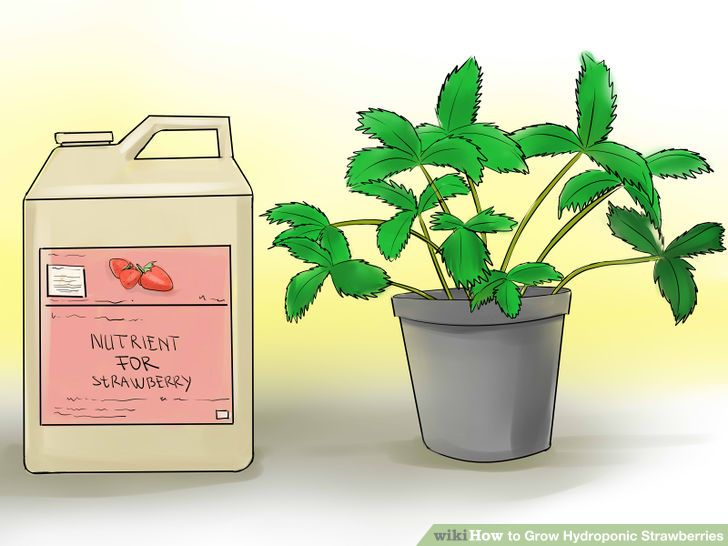 How To Grow Hydroponic Strawberries Hydroponics Hydroponic Strawberries Hydroponic Growing