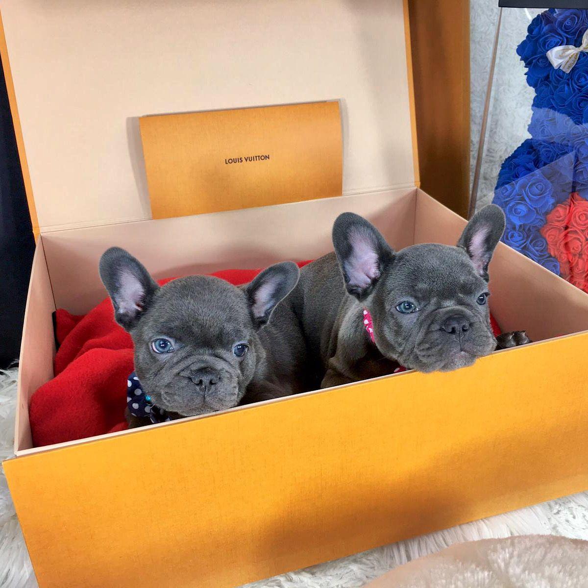 #Bulldogfrancese  #Frenchbulldog #frenchiemoments #bulldogfranceseitalia #frenchie #frenchielove #bulldogfrances #frenchieoftheday #frenchiegram #frenchbulldogs #bouledogue #dog #frenchielife #frenchiepuppy #frenchies1 #frenchbulldogpuppy