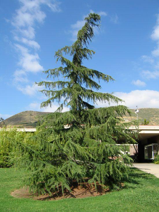 Ufei Selectree Tree Photo Record Cedrus Deodara Sands Soils Types Of Soil Landscaping Plants