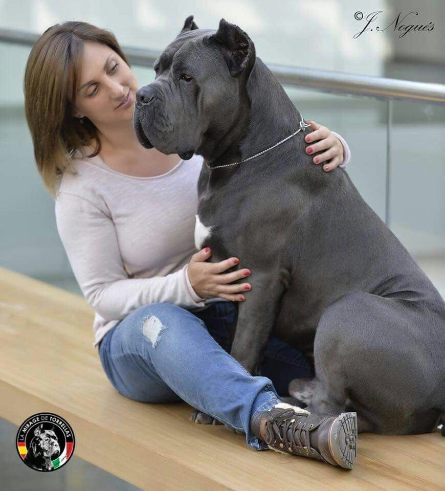 Cane Corso Cane Corso Corso Dog Cane Corso Dog