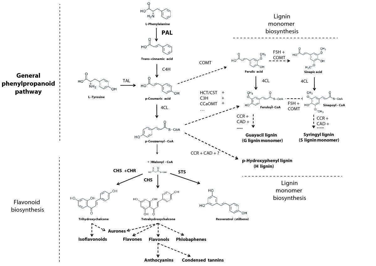 A Horizontal Gene Transfer At The Origin Of Phenylpropanoid