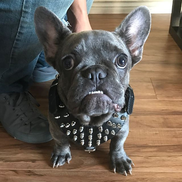 Pin By Paulina Serrano On Cash My Pupy Frenchie Puppies For Sale