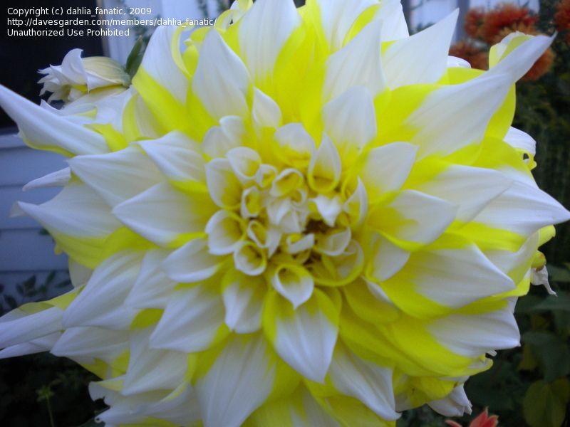 Daveu0027s+dinner+plate+dahlias+images | Pictures: Dinner Plate Dahlia,