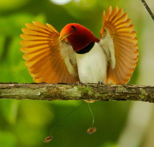 pimpandhost paradisebirds(a