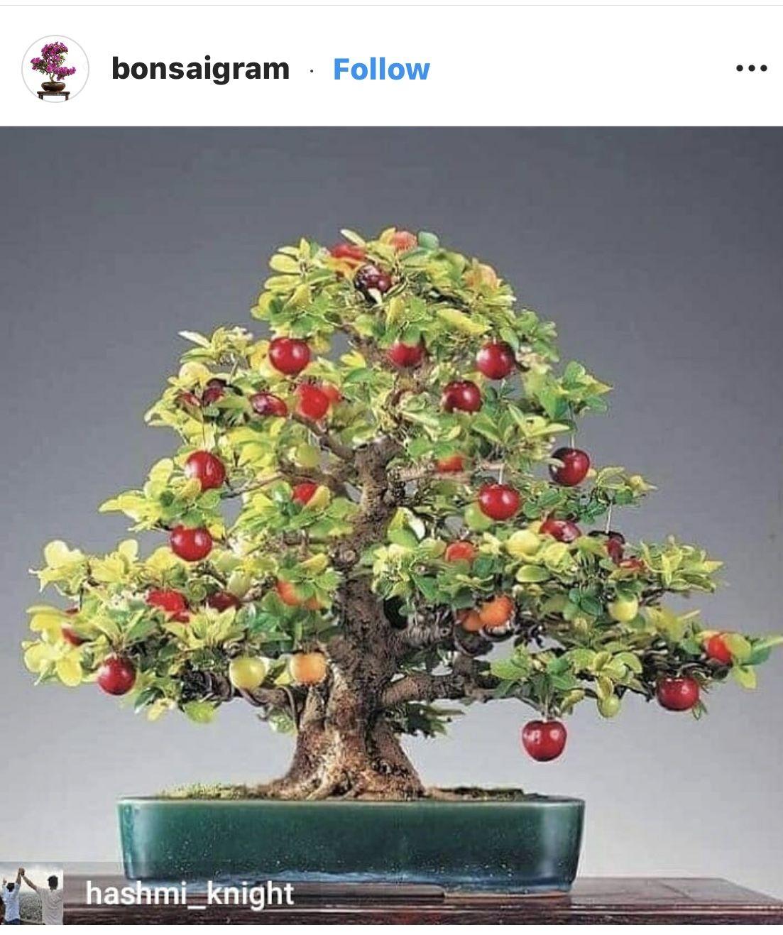 Pin By Jean Bernard Simonnet On Bonsai Extraordinares Bonsai Fruit Tree Bonsai Cherry Tree Japanese Maple Tree Bonsai