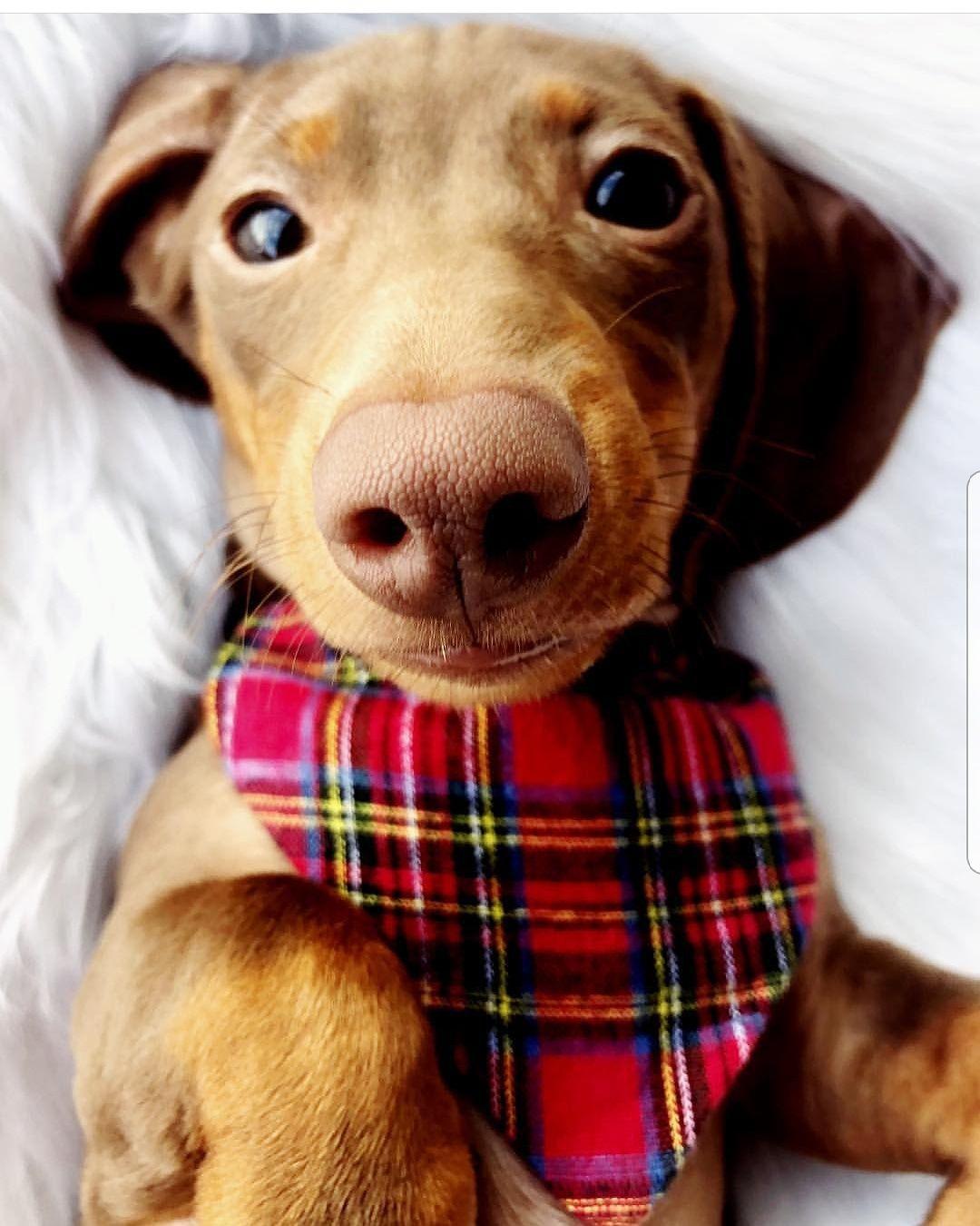 redtartanplaid holidayplaid flannel dogbandana